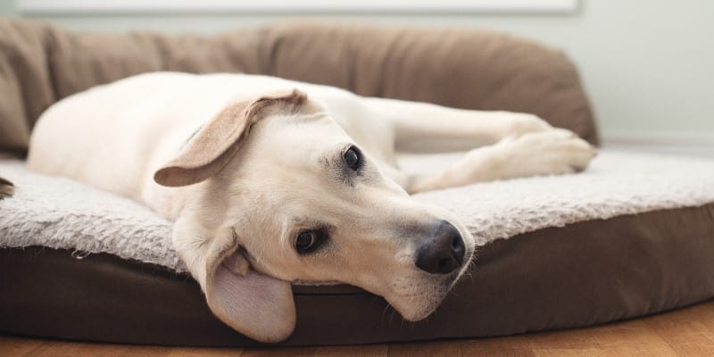 Labrador laying on luxurious dog bed