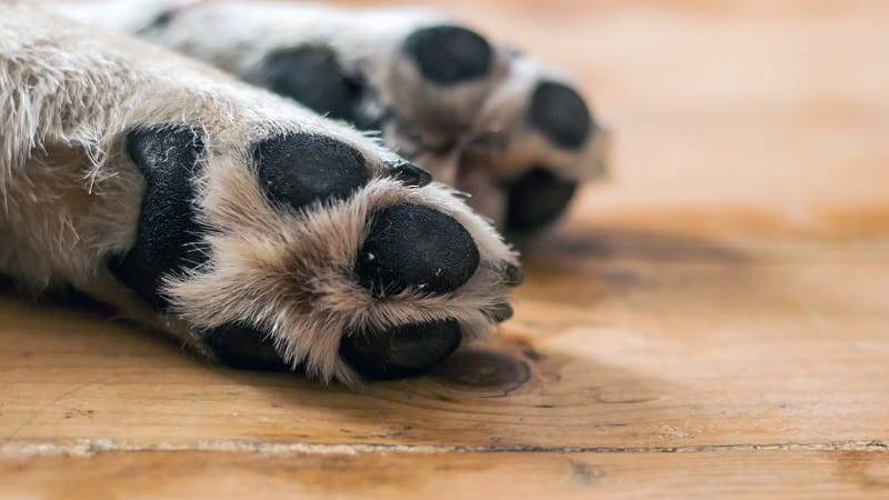 Dog paws on wooden floor