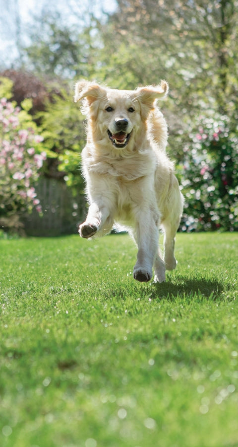 White retriever jumping