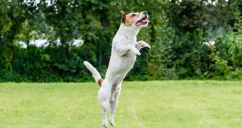 Jack Russell jumping high