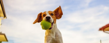 Jack Russel with ball