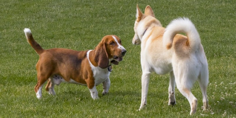 Basset hound staring at another dog