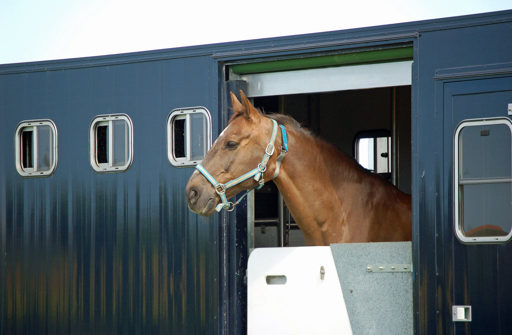 Horse poking head out of trailer