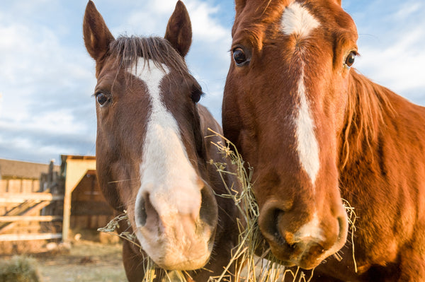 Two healthy horses eating hay