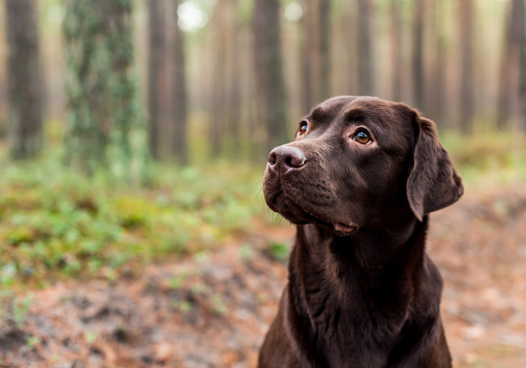 Chocolate Labrador sitting in woods