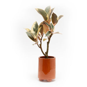 Tangerin Dream Planter