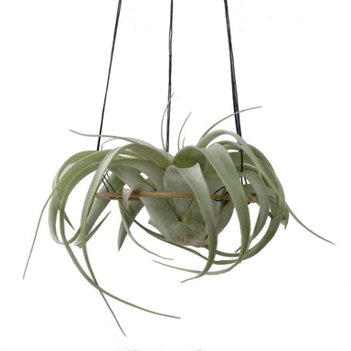 Minimal Air Plant Hanger Without Plant