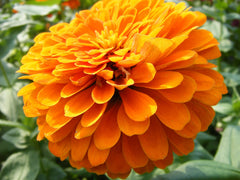 cempasuchil orange mexican marigold