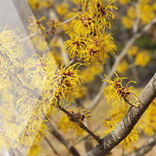 Load image into Gallery viewer, 02_ Witch Hazel Bark_all_plants_300x300