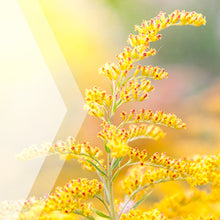 Load image into Gallery viewer, Goldenrod Tincture Extract, Organic (Solidago spp.) Dried Herb - secretsofthetribe