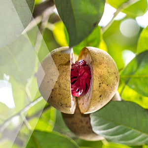 02_Nutmeg_all_plants_300x300
