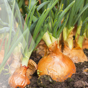 02_Onion_all_plants_300x300
