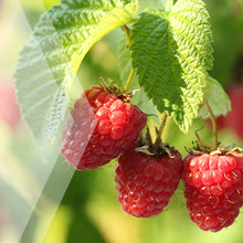 Load image into Gallery viewer, 02_Red Raspberry_all_plants_300x300