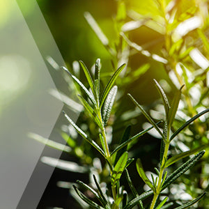 02_Rosemary_all_plants_300x300