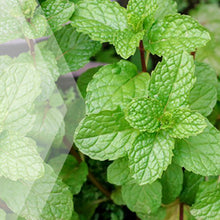 Load image into Gallery viewer, 02_Spearmint_all_plants_300x300