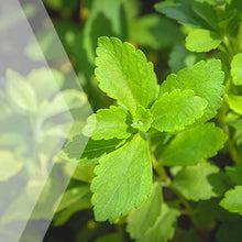 Load image into Gallery viewer, 02_Stevia_all_plants_300x300
