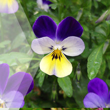 Load image into Gallery viewer, 02_Violet_all_plants_300x300