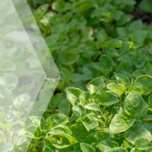 Load image into Gallery viewer, 02_Watercress_all_plants_300x300