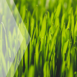 02_Wheatgrass_all_plants_300x300