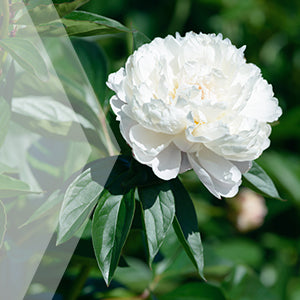 02_White Peony_all_plants_300x300