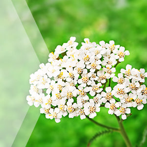 02_Yarrow_all_plants_300x300