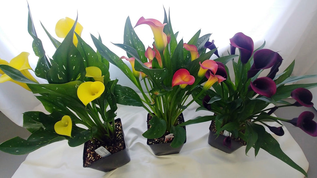 We have loads of beautiful Calla Lilies