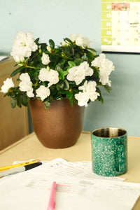 New! Azaleas in Bio Pot