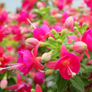 Fuchsia Sunbeam 'Cherry'