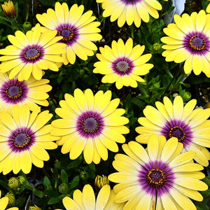 African Daisy 'Blue Eyed Beauty'