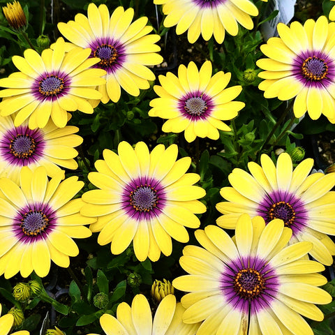 African Daisy - 'Blue Eyed Beauty'