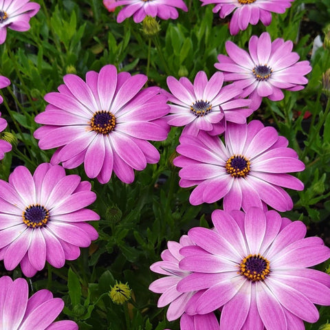 "African Daisy ""Margarita Pink Flare"""
