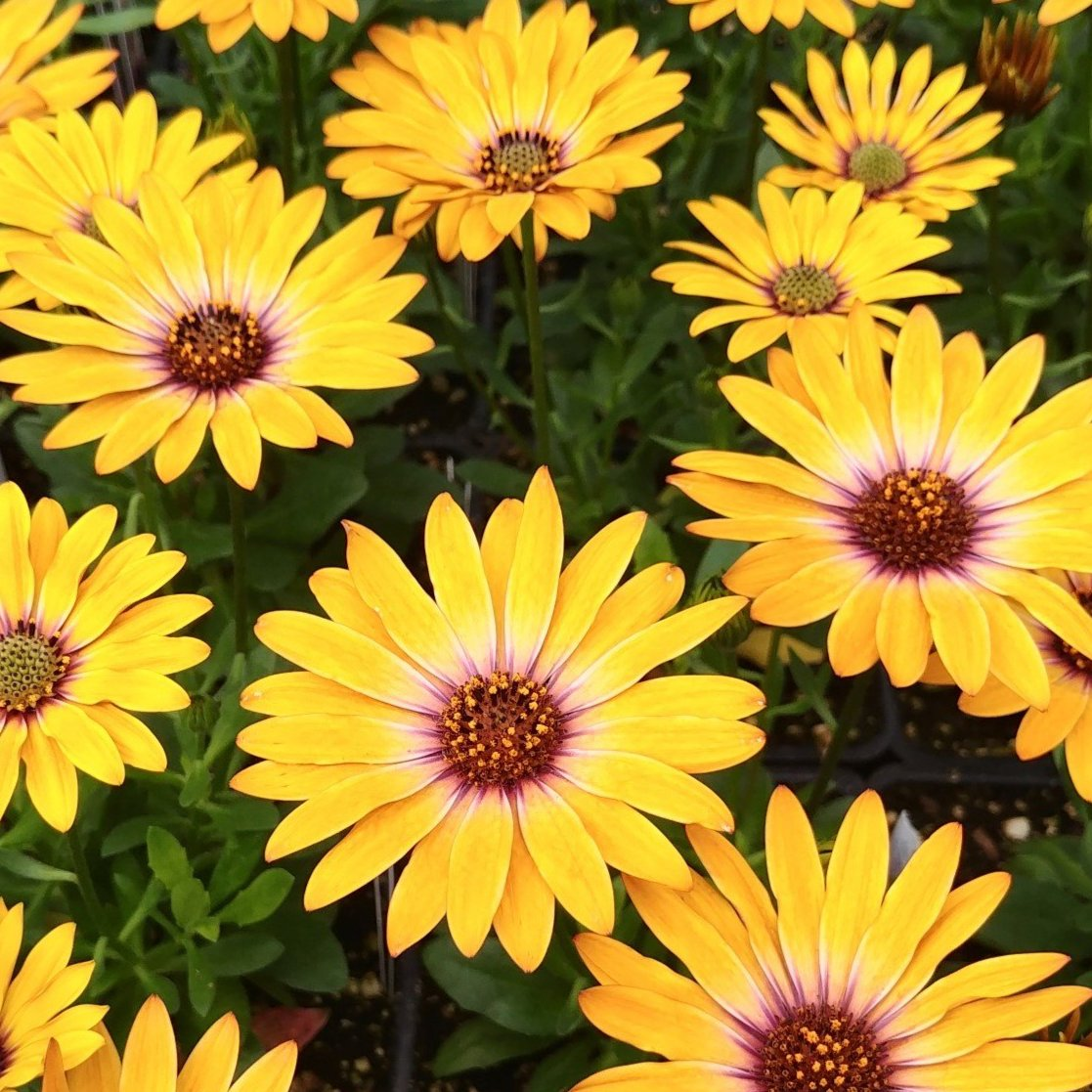 African Daisy 'Margarita Orange Flare'