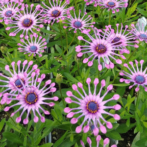 African Daisy - 'Spider Pink'