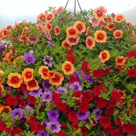 "Calibrachoa 10"" Hanging Basket"