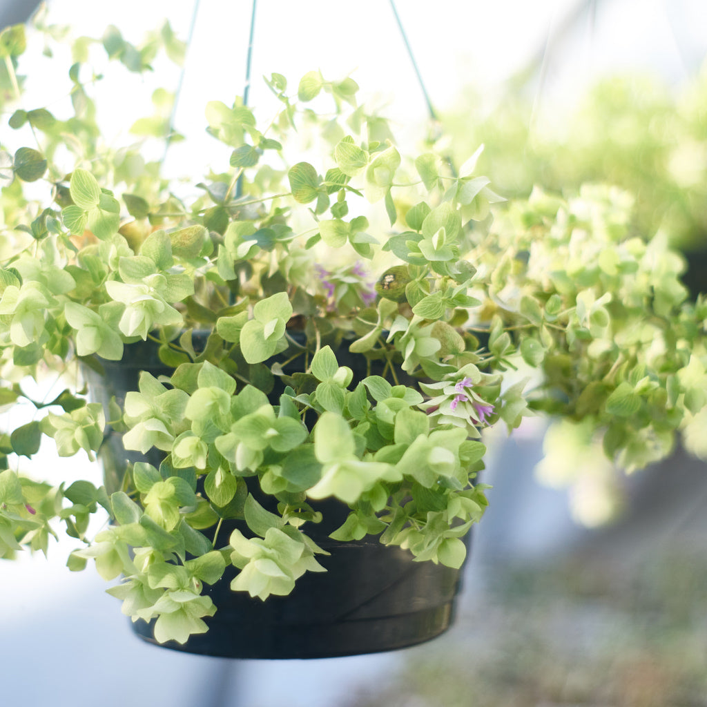 Origanum 'Kent Beauty' Hanging Basket