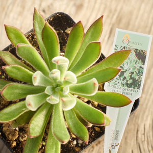 Echeveria 'Arrow-shaped' - Echeveria setosa