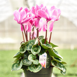 Cyclamen - Latina Mix