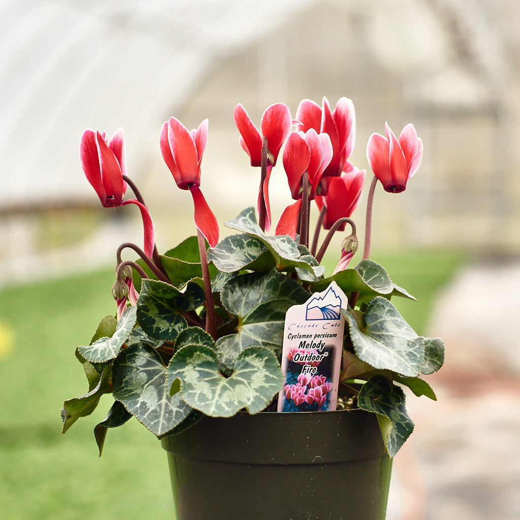 Cyclamen - Melody Outdoor Series