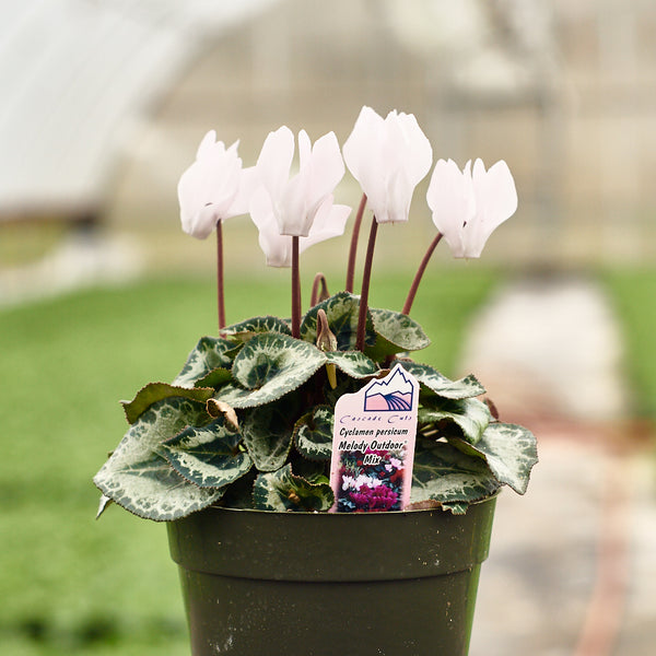 Cyclamen - Melody Outdoor Mix