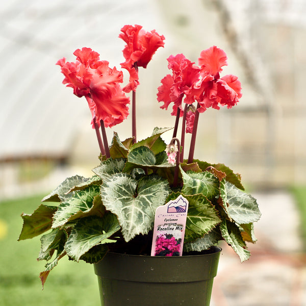 Cyclamen - Rocolina Mix