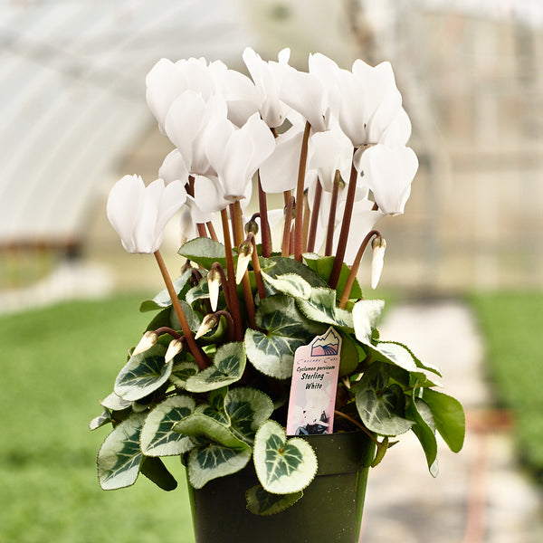 Cyclamen - Sterling Series
