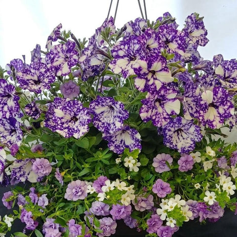"Victorian Mix 12"" Hanging Baskets"