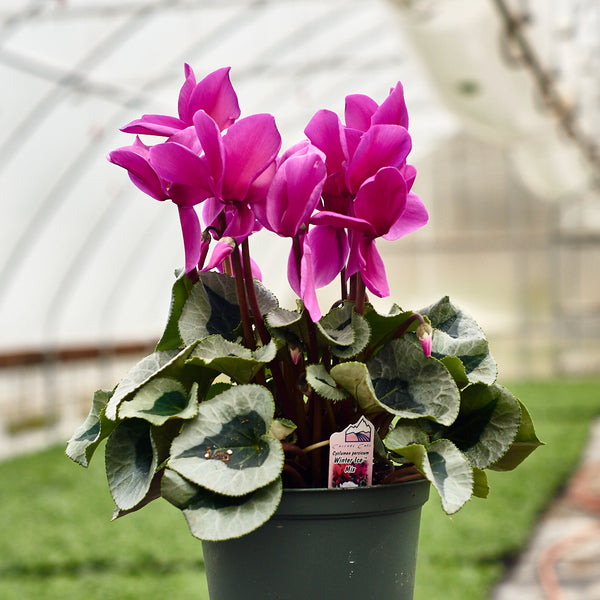 Cyclamen - Winter Ice Mix
