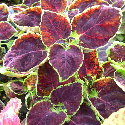 "Coleus ""Dipt in Wine"""