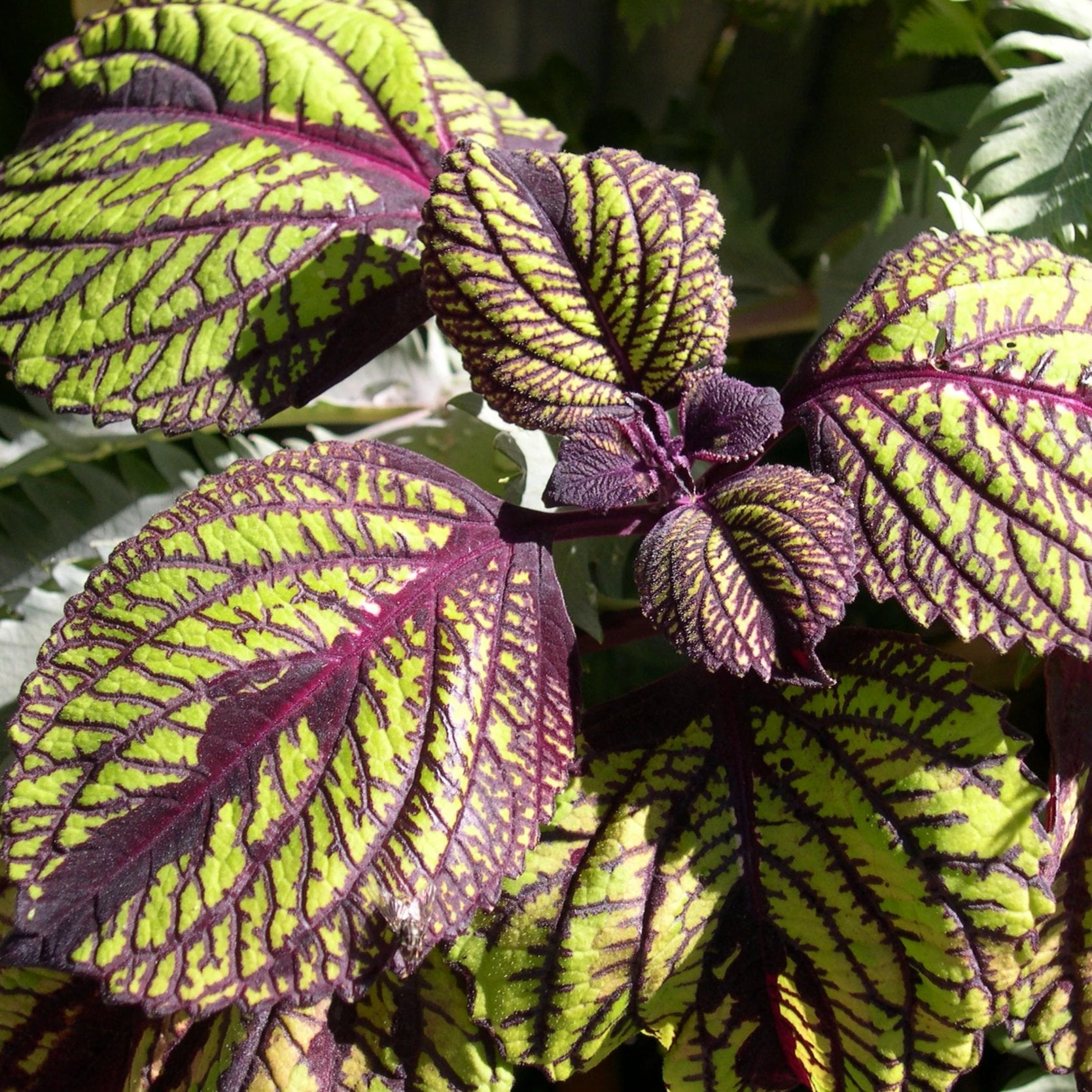 "Coleus ""Fishnet Stockings"""