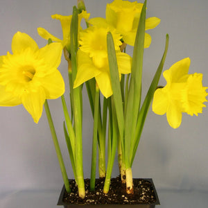 Daffodil Dutch Master
