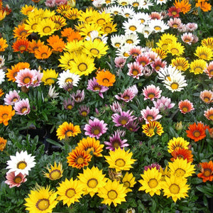 Gazania 'Kiss Mix'