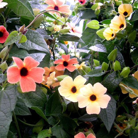 Thunbergia 'Spanish Eyes'