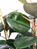 Ficus (Rubber Fig)