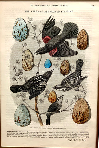 Victorian Bird Egg Collection